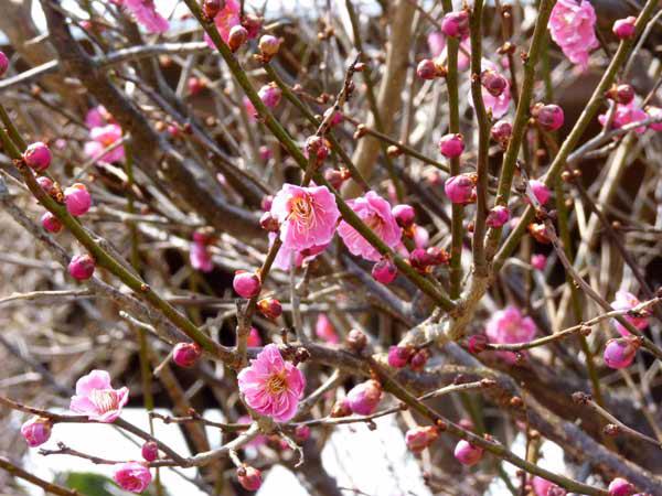 遊学舎 梅の花