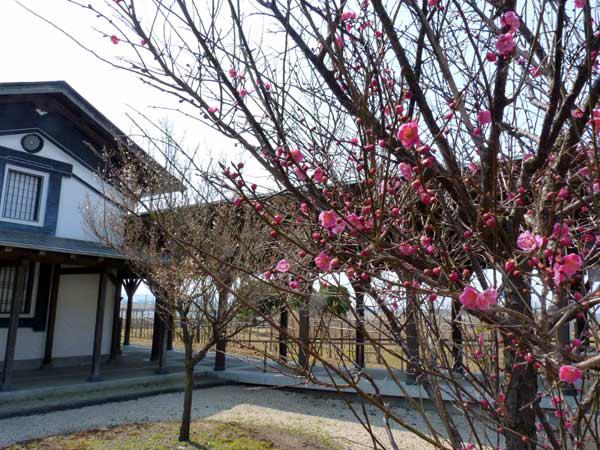 遊学舎梅の花
