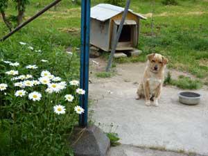 農家民宿「開墾の里」の看板犬チュモン