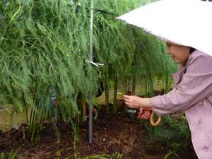 アスパラ収穫体験