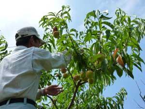 桃の葉かき
