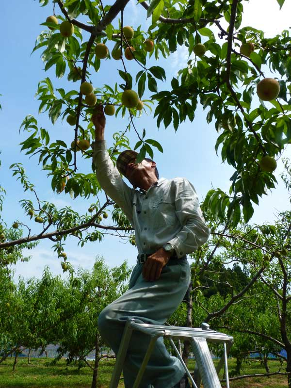 桃の葉かきをする茂木栄一さん