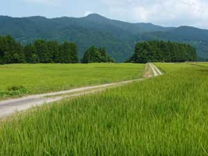 矢島の田圃