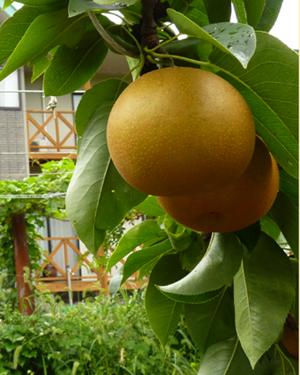 館岡果樹園の梨