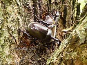梨の木にいた、カブトムシ。