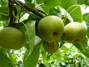 梨の収穫は、来月が本番!