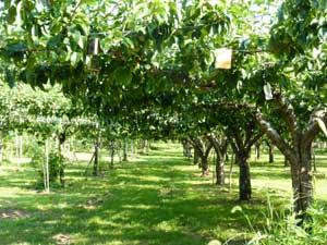 果樹園はまるで、緑の回廊!