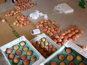 午前に収穫した桃