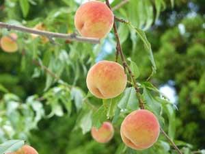 茂木果樹園の桃