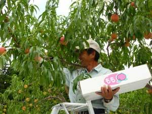 桃の収穫をする茂木栄一さん
