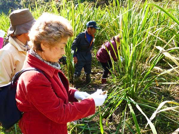 マコモダケの収穫体験