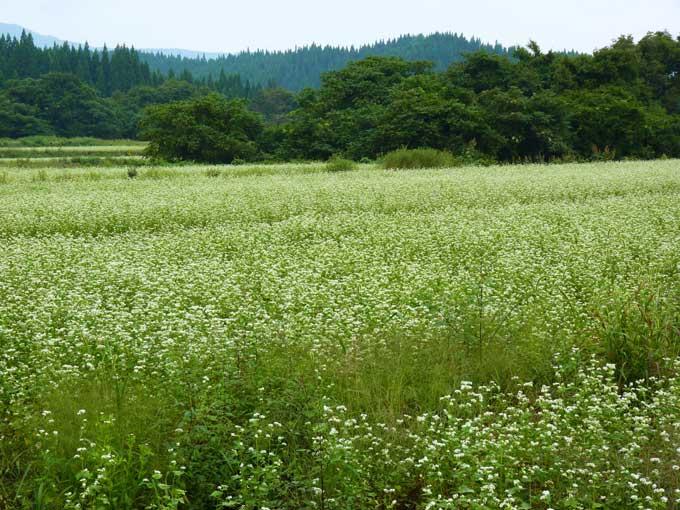 北秋田市合川三里転作蕎麦畑