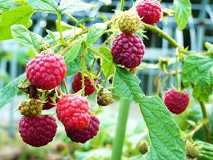 raspberry300p