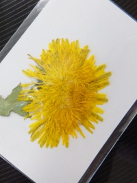 たんぽぽの押し花