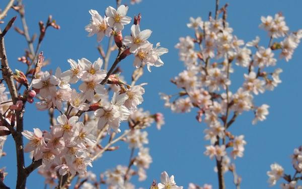 にかほ市大竹 桜