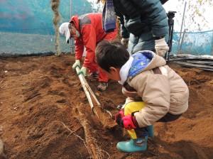 自然薯掘り