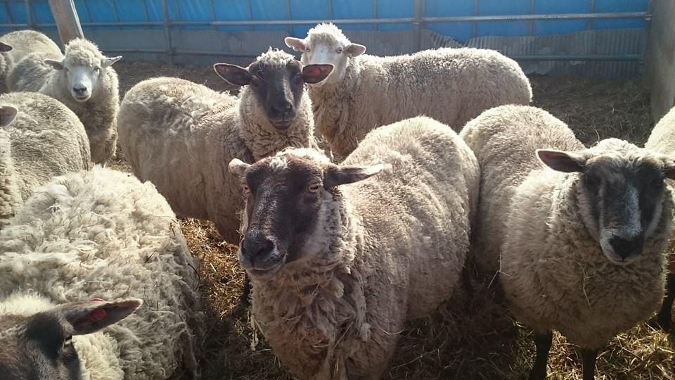 羊のふれあい広場