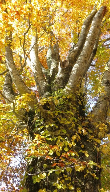 ぶなの巨木